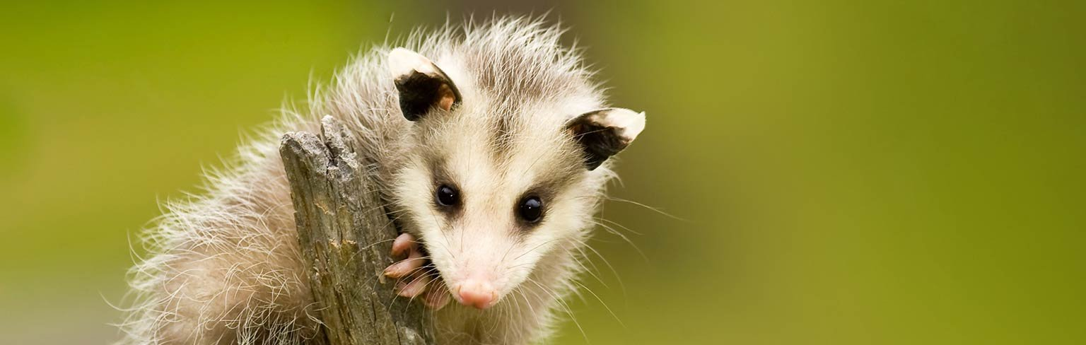 The Opossum—Survival of the Generalist