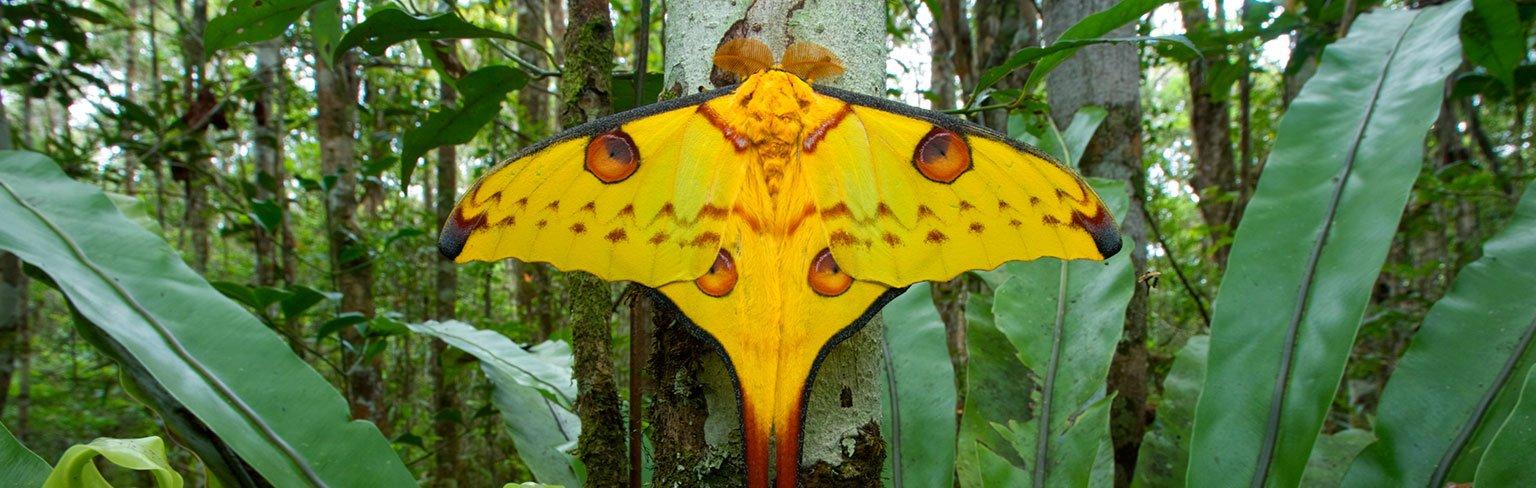 Giant Silk Moths—Butterflies' Unsung Rivals