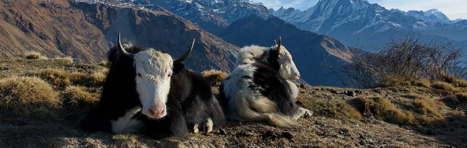 Yaks—Living the High Life