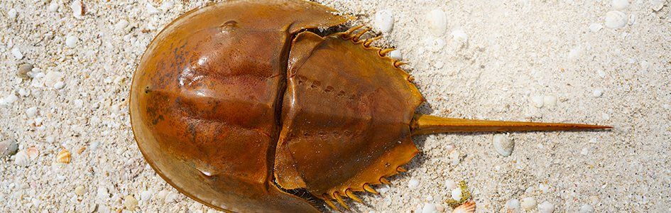 Horseshoe Crab—Lifesaving Living Fossil