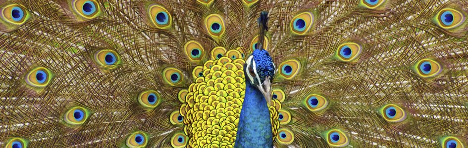 Evolution through the Eye of the Beholder: Peacock secrets revealed