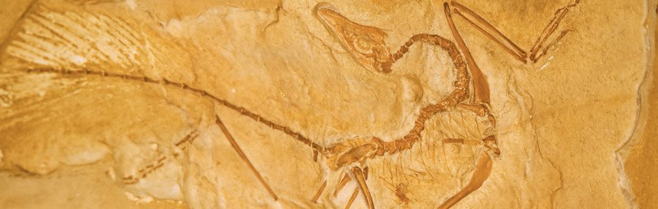 Archaeopteryx's Feathery Legs Fuel Flightless Evolutionary Claims