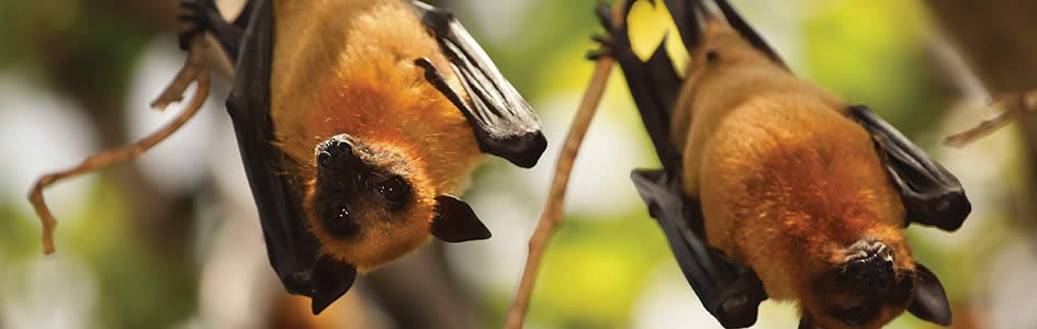Bats Inspire High-Tech New Flying Robots