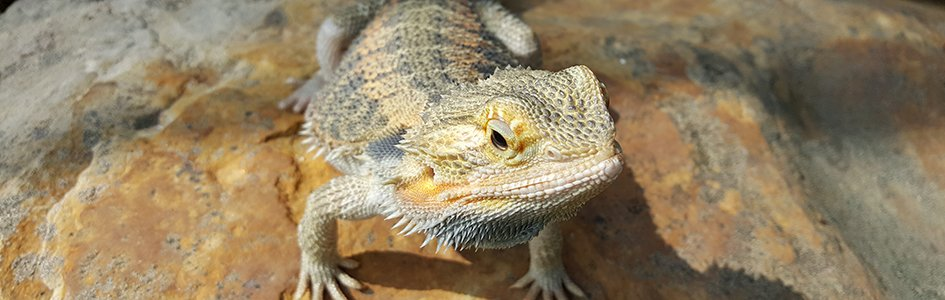 Do Naked Bearded Dragons Reveal Common Ancestry of Scales, Feathers, and Fur?