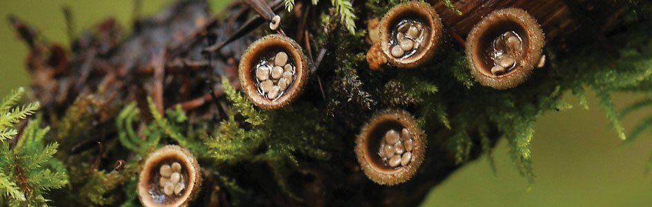 Bird's Nest Fungus—High-Flying Eggs!