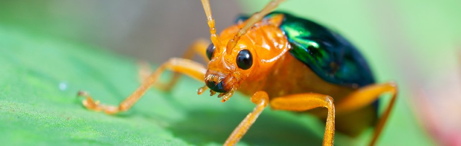 Bombardier Beetle–The Arsenal Insect