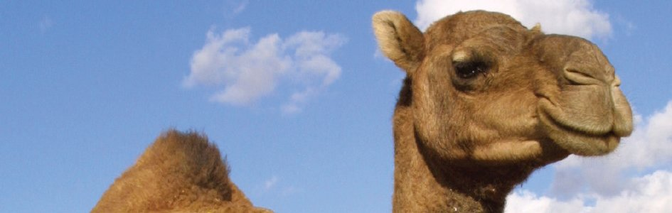 Camels Answers In Genesis