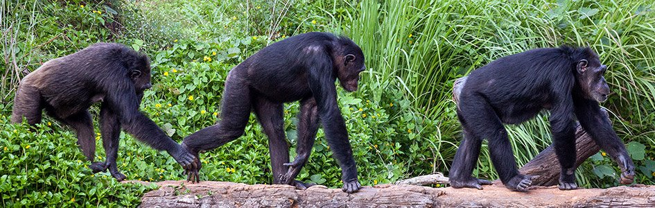 Chimps in a Line
