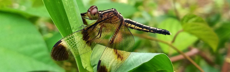 Dragonflies Demonstrate Design!