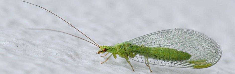 Green Lacewig