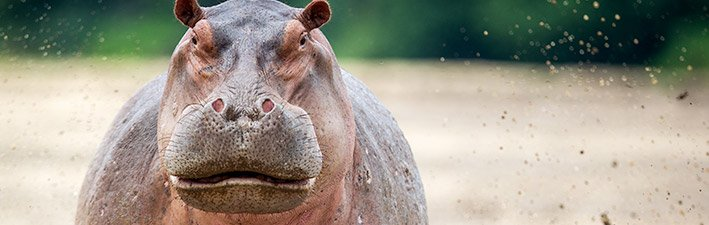 Hippopotamus—Territorial Terrors