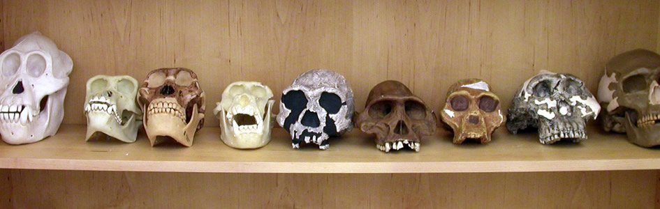 Supposed Hominid Evolution