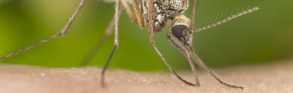 "Malaria-Carrying ""Super Mosquitoes"" Resist Insecticide"