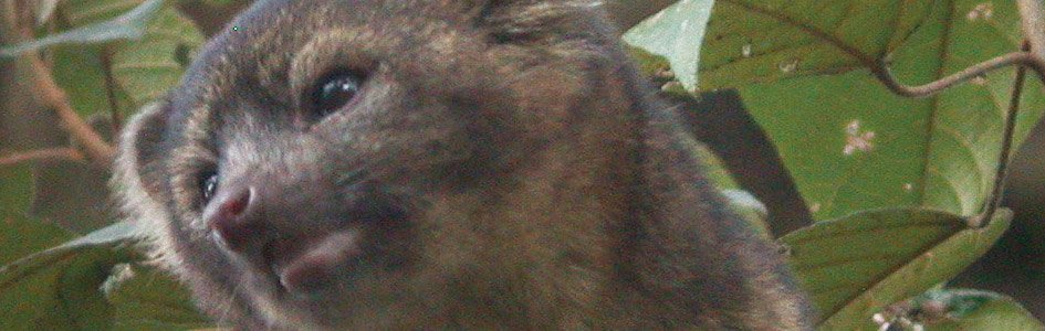 Olinguito—The Last Carnivore?