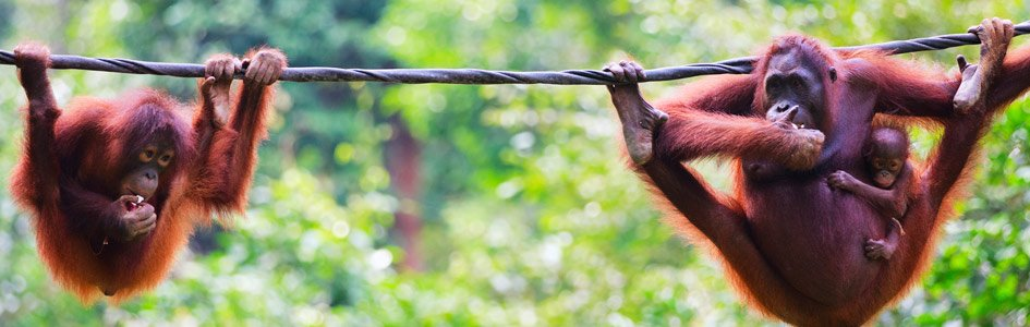 Can Orangutans Talk Like Humans?