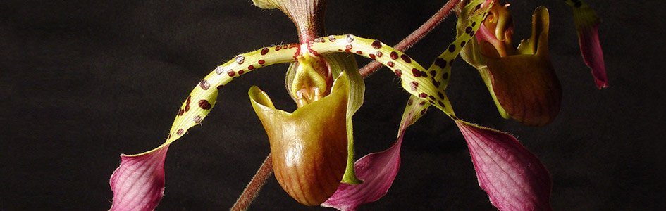 Orchids—A Bouquet of Adaptations