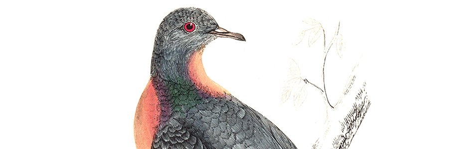 Passenger Pigeon Illustration