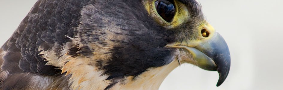 Peregrine Falcon—Nature's Top Gun
