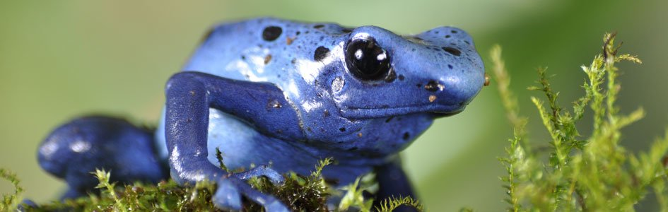 Poison Dart Frogs—Drop Dead Gorgeous