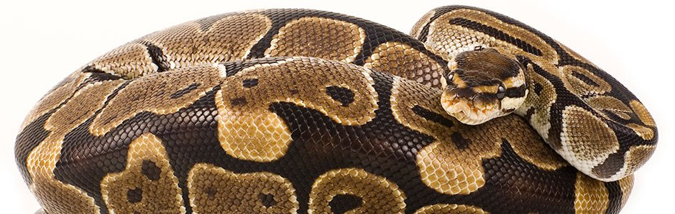 Pythons and Boas—Big, Bad, … and Blessed