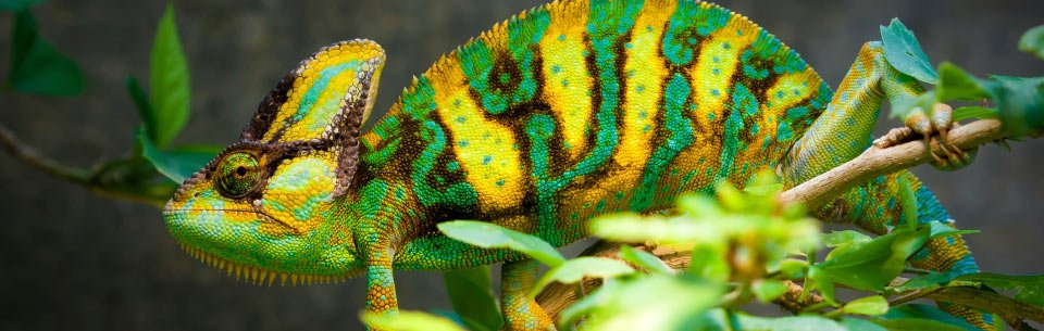 Chameleon Fun Facts