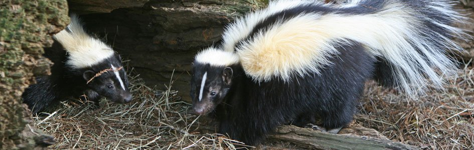 Skunks—A Design that Makes Scents