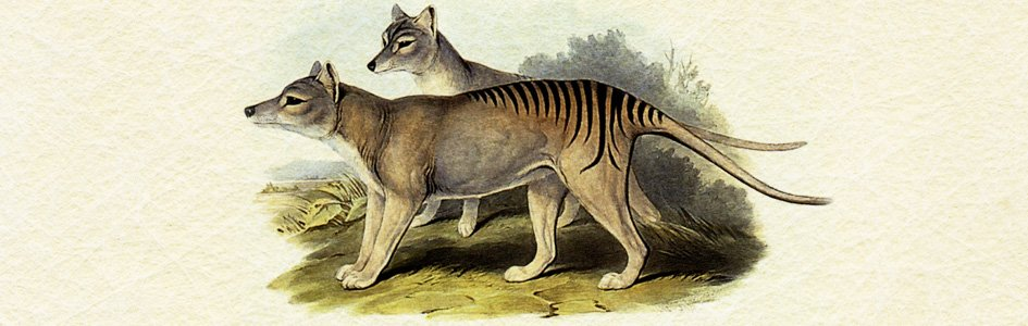 Tasmanian Tigers: Extinct or Elusive? | Answers in Genesis