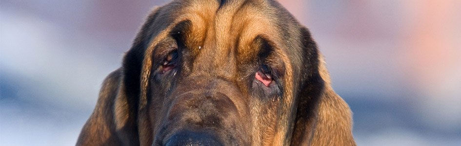 The Bloodhound—Natural Born Smeller