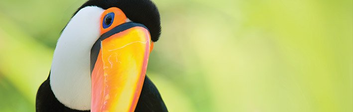 The Toucan's Bodacious Beak
