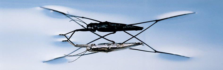 Water Striders—Walking on Water