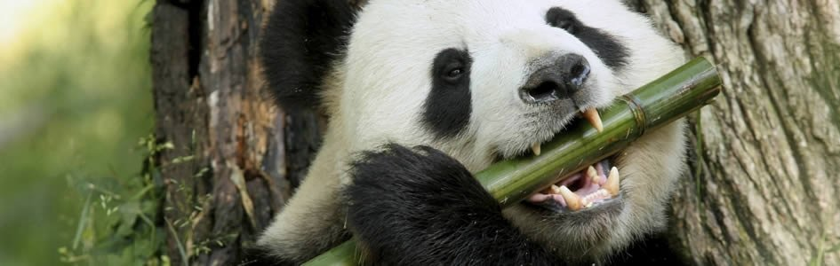 Giant Panda Diet Requires Microorganisms to Digest Bamboo