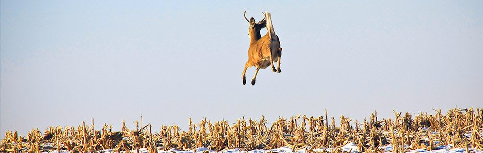 White-Tailed Deer—All-American Athletes