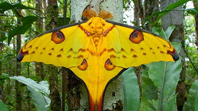 Giant Silk Moths—Butterflies' Unsung Rivals