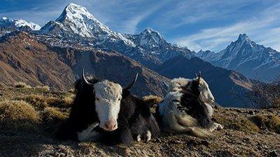 Yaks—Living the High Life