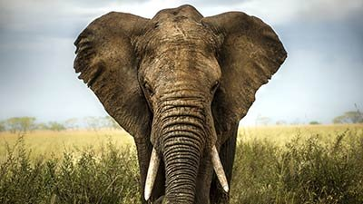 Defining Species—An Elephant-Sized Problem
