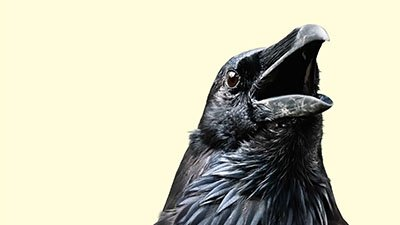 Raven Mavens