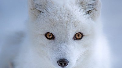 How the Arctic Fox Got Its Winter Wardrobe