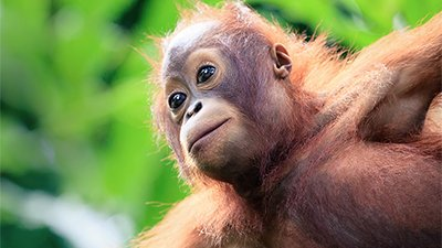 Orangutan—King of the Treetop Trapeze