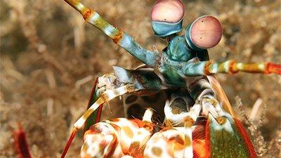 Mantis Shrimp—Pint-Sized Prizefighters