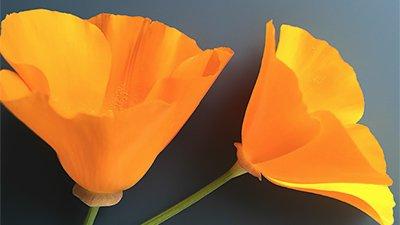 California Poppies: Beyond Brilliant