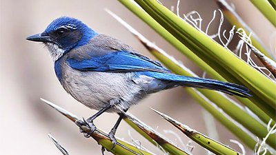 Scrub Jays—The Ultimate Bird Brain