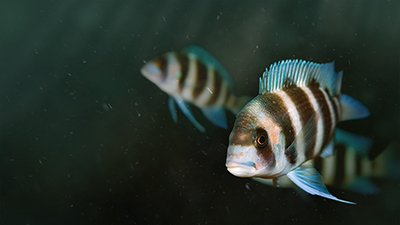 Cichlid Variety—Fishy Evolution