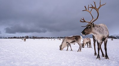 Reindeer: Thriving in a Winter Wonderland
