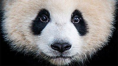 Giant Panda: The Veggie Bear