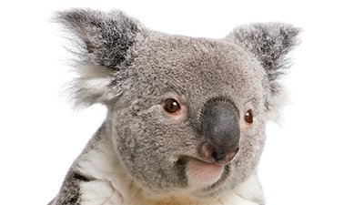 Koala Conundrum
