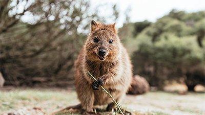 Quokka: The Happiest Animal on Earth?