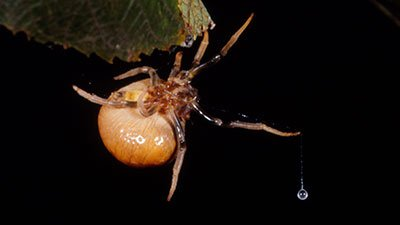 Bolas Spiders—Eight-Legged Gauchos