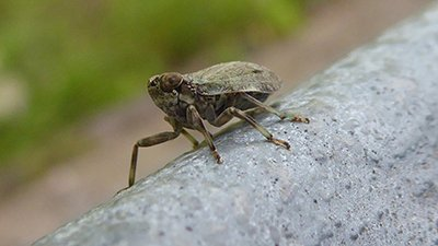 Biological Gears Discovered in Leafhoppers