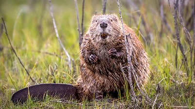 Beavers: God's Natural Builders