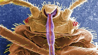 In Bedbugs, Scientists Don't See a Model of Evolution